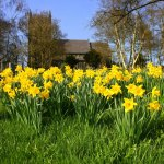 church_daffodils2